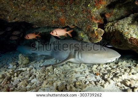 NURSE SHARK SLEEPING IN AN UNDERWATER CAVE - stock photo