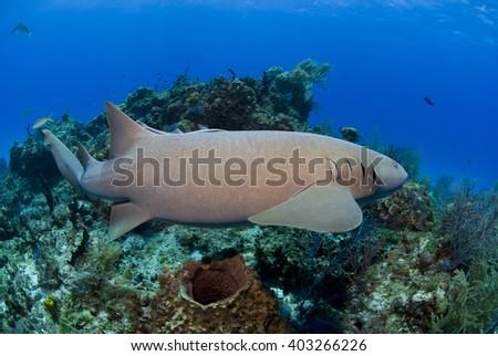 Nurse shark swimming along the reef. - stock photo
