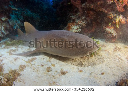 Nurse Shark swimming over the reef
