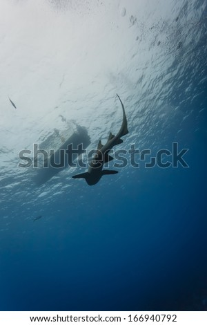 Nurse shark swims underwater parallel to diving boat in clear tropical waters - stock photo