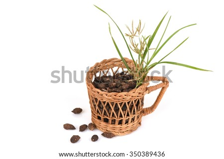 Nut grass, Coco grass (Cyperus rotundus L.) The medicinal properties and many more.