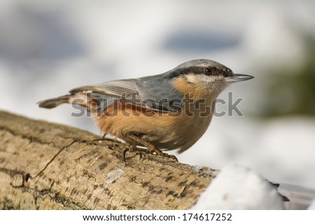 Nuthatch - stock photo