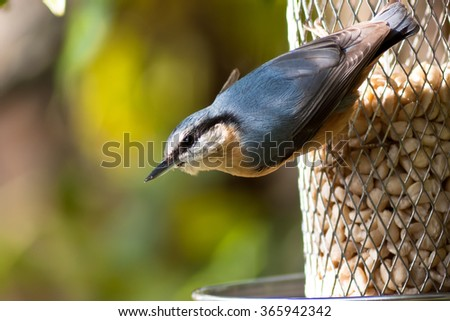 Nuthatch on a nut dispenser - stock photo