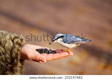 Nuthatch on the hand in the park.