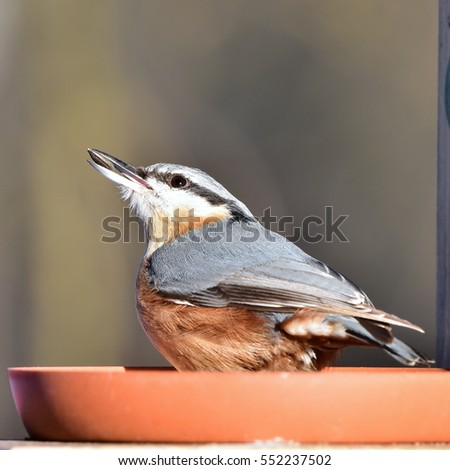 nuthatch with sunflower seed in bill,winter birdwatching