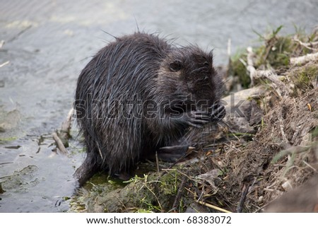 nutria is washing