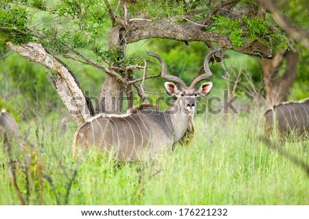 Nyala, also called Bushbuck in Umfolozi Game Reserve, South Africa, established in 1897 - stock photo