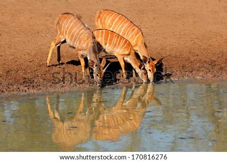 Nyala antelopes (Tragelaphus angasii) drinking water, Mkuze game reserve, South Africa - stock photo