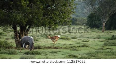 Nyala ewe running and jumping while ram eats. - stock photo