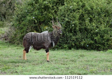 Nyala ram looking silly with a weed stuck on his horns. - stock photo