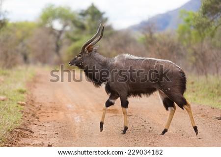 Nyala walking in african wild bush - stock photo