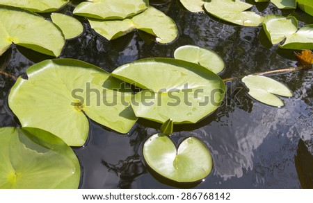 Nymphaea alba, also known as the European White Waterlily, White Lotus, White Water Rose or Nenuphar, is an aquatic flowering plant of the family Nymphaeaceae.  - stock photo