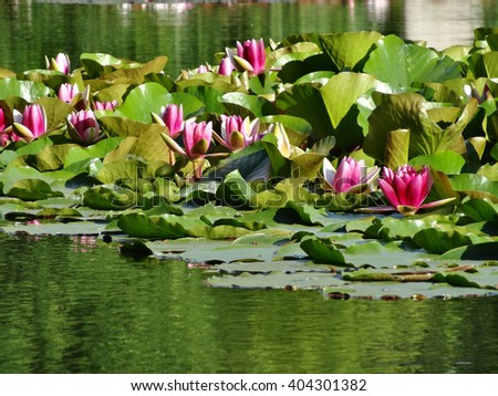 Nymphaea - Pink waterlily - Aquatic vegetation, water plants - stock photo