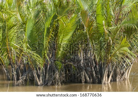 Nypa fruticans, commonly known as the nipa palm, is a species of palm native to the coastlines and estuarine habitats of the Indian and Pacific Oceans.