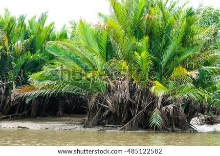 Nypa palm at canal side in natural sunlignt