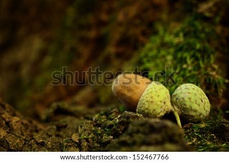 Oak acorn on mossy background in sunset - stock photo