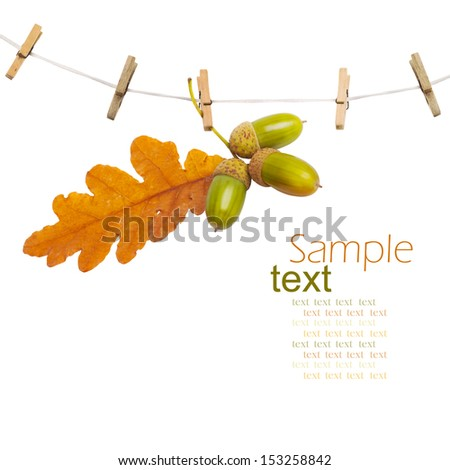 Oak branch with acorns hanging on clothesline isolated on white background - stock photo
