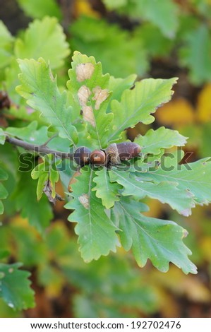 Oak branch with brown acorns  - stock photo