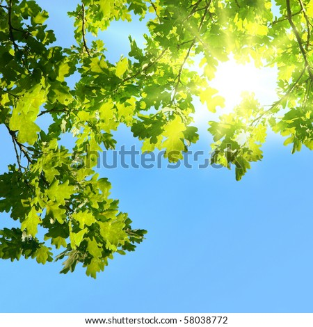 Oak branches shined with the sun - stock photo
