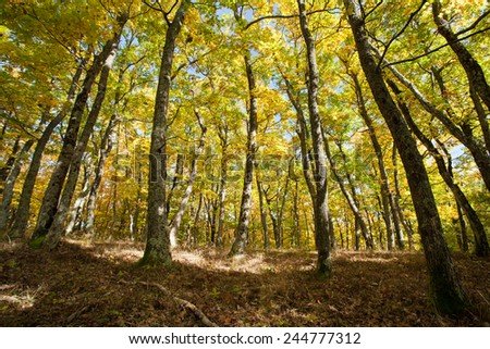 oak forest from ground up with autumn vivid colors, slovenia - stock photo