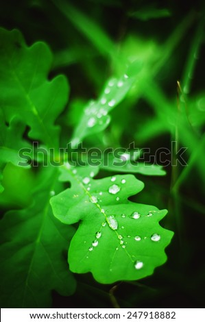 Oak green leaf and water drop on it, shallow dof - stock photo