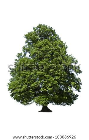 oak green tree on white - stock photo
