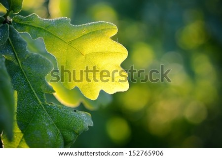 Oak green young leaves close-up in spring morning. Shallow depth of field - stock photo