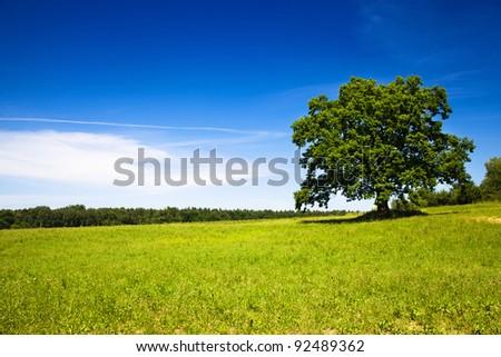 Oak growing in the field. Summertime of year - stock photo