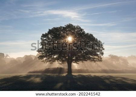 Oak in backlight and fog