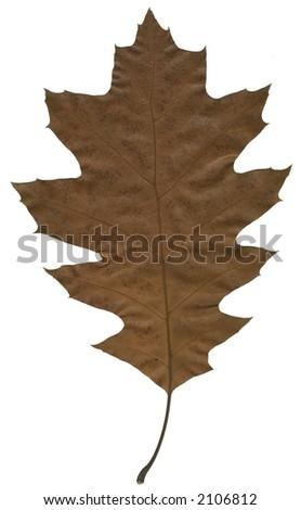 oak leaf - stock photo