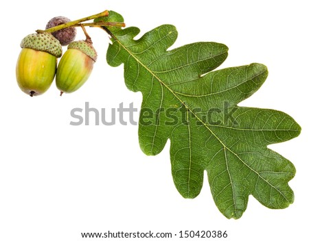 oak leaf and few acorns isolated on white background - stock photo