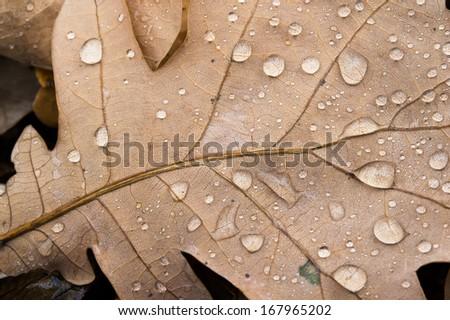 oak leaf dew drops - stock photo