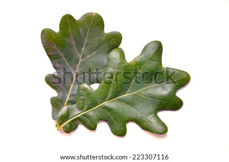 oak leaf isolated on white background - stock photo