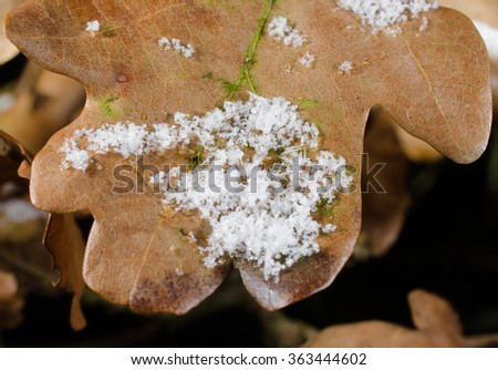 oak leaf macro, winter with snow - stock photo