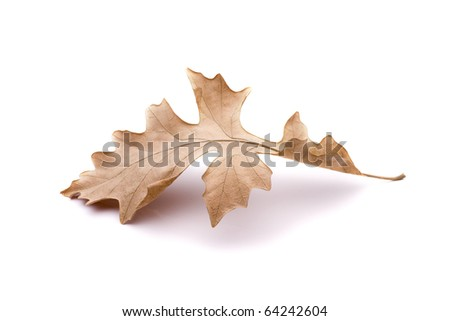 Oak leaf on white - stock photo