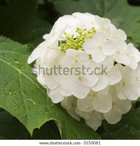 Oak Leaf White Hydrangea Flowers with Rain Drops on the Leaves - stock photo