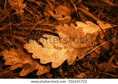 Oak leaf with dew drops in the grass. Vintage golden effect. Autumn background. Shallow depth of field - stock photo