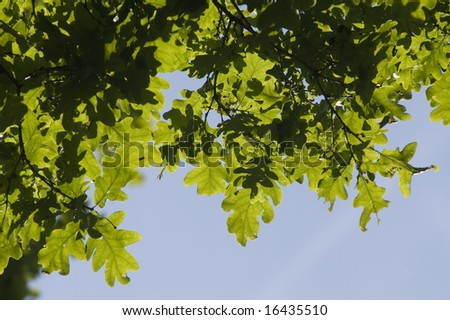 Oak leaves against blue sky (summer background)