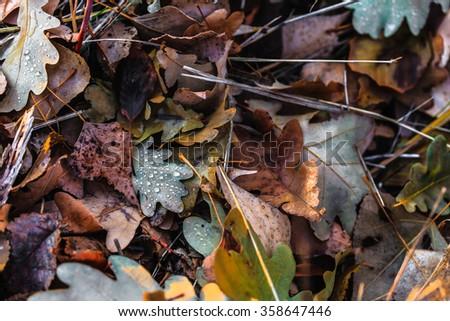 oak leaves, fall leaves, autumn leaves, autumn fall, autumn forest, leaves background, fallen background, autumn background, autumn pattern, oak background - stock photo