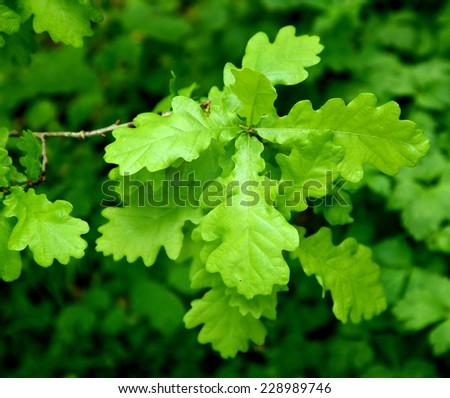 oak leaves growing on tree - stock photo