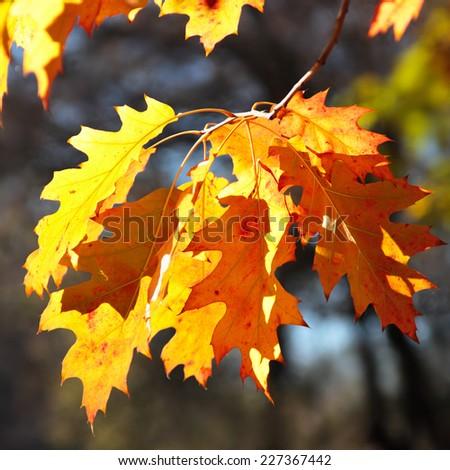 Oak leaves in in sunny light - stock photo