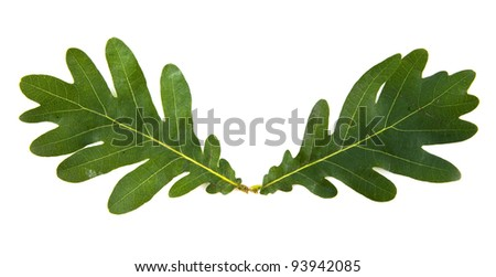 oak leaves on a white background - stock photo