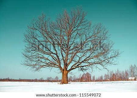oak on field - stock photo