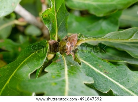 oak starts growing acorns