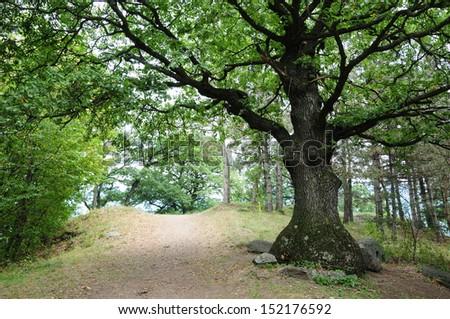 Oak tree - stock photo