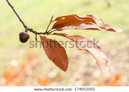 Oak tree - branches, leaves and acorn with natural background - stock photo