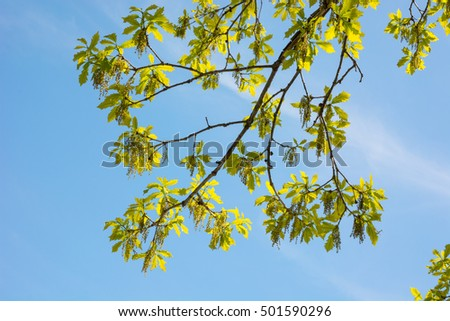 Oak tree branches with new leaves and catkins on a beautiful spring day.
