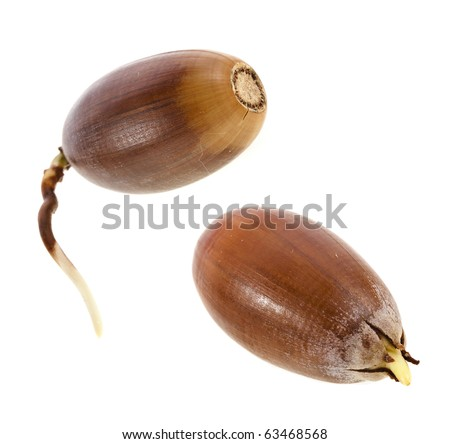 oak tree brown acorn nut with sprout root isolated on white