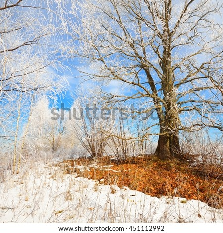 Oak tree covered with snow and rime in Russian winter countryside - stock photo