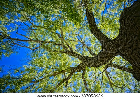 Oak tree from below made in HDR - stock photo